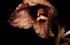 Phát hiện 'phong lan ma' ở Indonesia