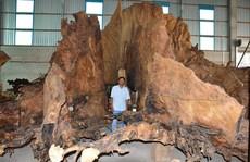 Gốc cây bàng cổ kỳ bí: 600 năm tuổi giá 35 tỉ đồng