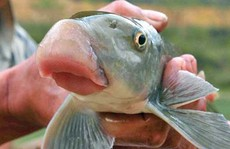 Những loài cá 'tiến vua' đắt đỏ nhưng vẫn được săn lùng