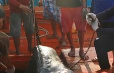 Lạnh gáy đi theo những cao thủ săn cá mập