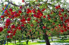 Đột nhập vườn táo Aomori Nhật Bản đã có bán ở Việt Nam