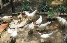 Không bán đàn gà rừng đột biến gen 500 triệu đồng