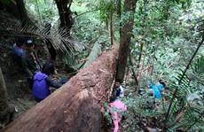 Có thật loài cây chảy ra rượu ở rừng núi Quảng Bình