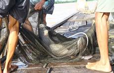 Thời khắc đối mặt cá 'khủng' của dân chài miền Tây