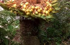 Đổ xô xem cây vạn tuế hiếm có 'đẻ 400 trứng vàng'