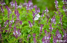 Thực hư cánh đồng hoa Lavender ở ngoại ô Hà Nội