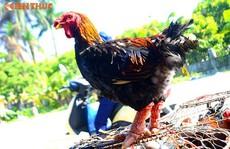 Gà Đông Tảo giá rẻ bán đầy đường, phục vụ khách ăn Tết dương