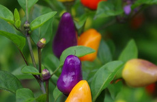 Sướng mắt với cây ớt 'độc' và đẹp lạ lùng
