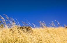 Đi qua mùa cỏ đuôi chồn