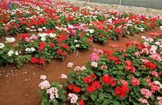 Ngắm ngàn hoa đua sắc tại làng hoa nổi tiếng ở Đà Lạt