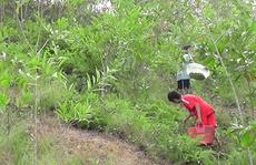 Đổ xô lên rừng hái sim, kiếm 700.000 đồng/ngày