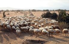 Giá thịt cừu tăng, người nuôi lãi khá