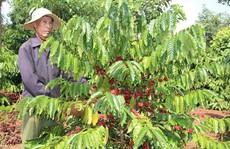 Agribank ưu đãi tái canh cà phê