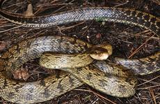 Huyền thoại thầy rắn ở U Minh