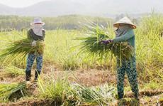 Bí quyết làm giàu: Chuyển đất lúa sang trồng cỏ nuôi bò
