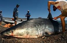 Vi cá mập có gì mà đắt tiền, được thế giới săn lùng tới vậy?