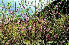 Lạc vào 'thủ phủ' hoa mận, hoa đào bung nở ở độ cao 1500m