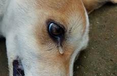 Lạ lùng với 'người tốt' chữa chó bị bả chết ngoài đường