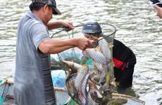 Cá mắc kẹt đầy chân đập hồ thủy điện Trị An