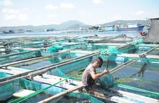Tôm hùm, cá bớp ở Vân Phong chết hàng loạt vì tảo độc