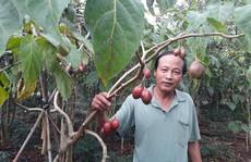 Cà chua thân gỗ lâm cảnh ế ẩm