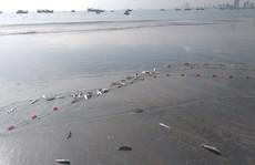 Ngợp với cảnh đầy ắp cá đối 'áp sát' bờ biển Đà Nẵng