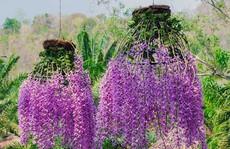Những loại hoa lan đắt đỏ giới nhà giàu săn lùng dịp Tết
