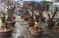 TP HCM: Hoa đào đã xuống phố