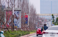 Hàng cây phong lá đỏ nảy lộc đón Tết giữa đường phố Thủ đô