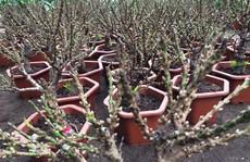 Đào thất thốn Trung Quốc 'đại náo' thị trường cây cảnh