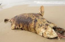 Phát hiện 3 xác cá 'thiêng' chết và dạt cùng lúc vào biển Quảng Bình