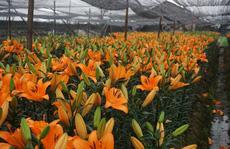 Giá hoa ly 'rẻ chưa từng có', người trồng để mặc hoa rụng đầy gốc