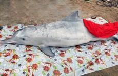 Đầu năm, cá voi và cá heo chết cùng trôi dạt vào biển Cửa Hiền