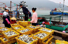Ngư dân phấn khích trúng đậm 'lộc biển' 4-5 tấn cá mỗi tàu
