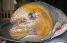 Chục triệu đồng một con cá Anh Vũ đầu vàng cúng Tết