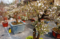 Mai trắng quý gây 'sốc' với giá trăm triệu tại chợ hoa Tết đất cố đô