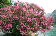 Những loại hoa chơi Tết 'siêu đẹp, siêu độc tính' cần cảnh giác
