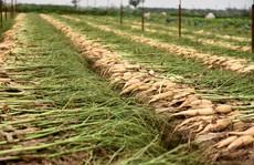 Nông dân Hà Nội ngậm ngùi vứt bỏ hàng trăm tấn củ cải trắng