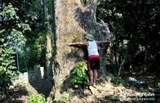 Điều thú vị về cây lội sống qua hơn 10 đời người ở đất Mường Quàng