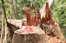 Cận cảnh rừng lim cổ thụ hàng trăm năm tuổi bị 'xẻ thịt' kinh hoàng