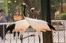 Ngắm loài chim cực quý, nằm trong sách đỏ thế giới