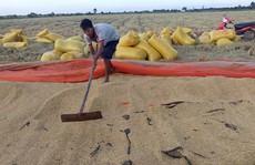 Lúa hữu cơ bán hết sạch từ khi... chưa gặt!