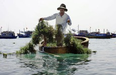 Ninh Thuận: Nông dân trúng mùa rong sụn, muối được giá