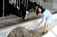 Lên Mộc Châu thử làm nông dân chăn nuôi bò sữa