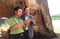 3 cổ thụ 'khủng' đốn ở rừng Tam Giang?