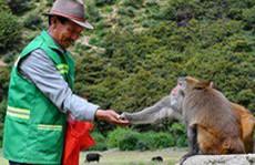 'Người cha' của đàn khỉ 2.800 con ở Tây Tạng