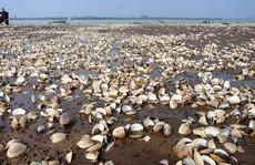 90 tấn ngao chết hàng loạt do thủy triều đỏ