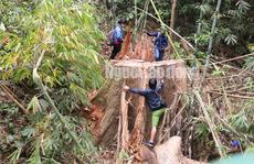 Công an tỉnh tham gia điều tra vụ 'thảm sát' rừng lim cổ thụ