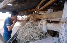 Mới đầu hạn, cừu đã chết hàng loạt