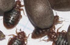 Bị rệp cắn, được bồi thường gần 1,6 triệu USD
